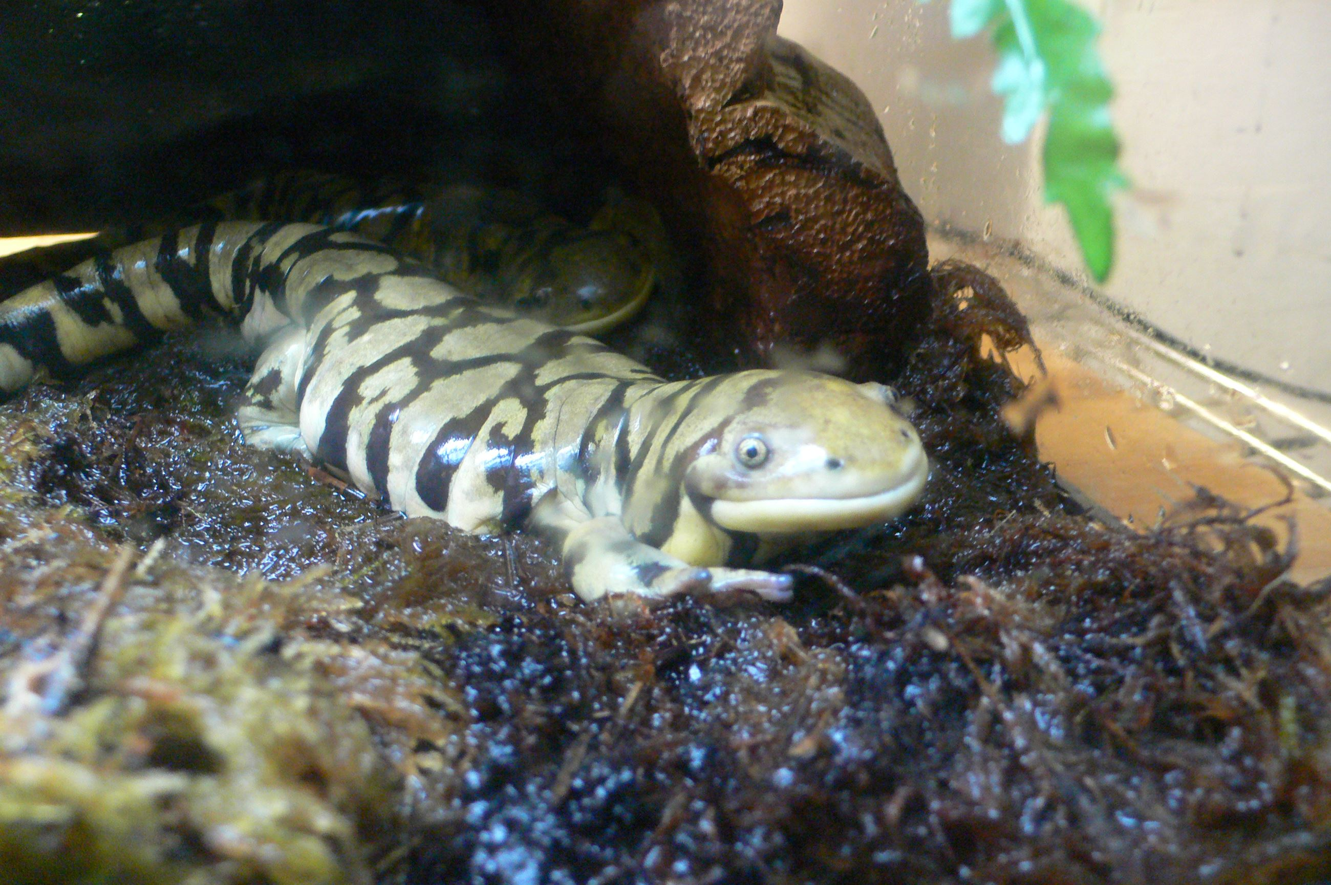 Barred Tiger Salamander1